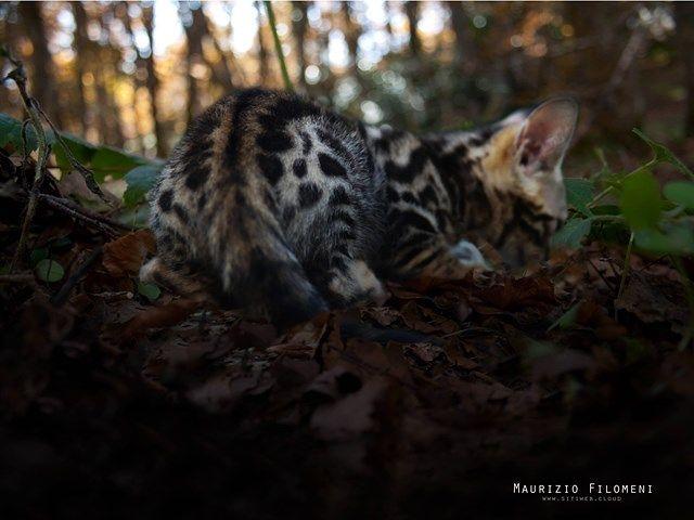 Roseto, un'oasi dedicata al gatto bengala