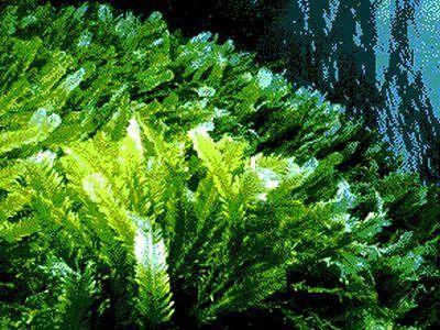 Rocca San Giovanni, alga ostreopsis ovata: scatta l'allarme