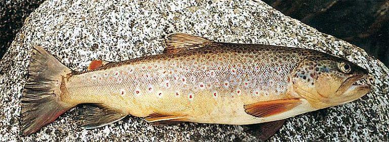Il ripopolamento ittico dei fiumi abruzzesi parte dall'aquilano