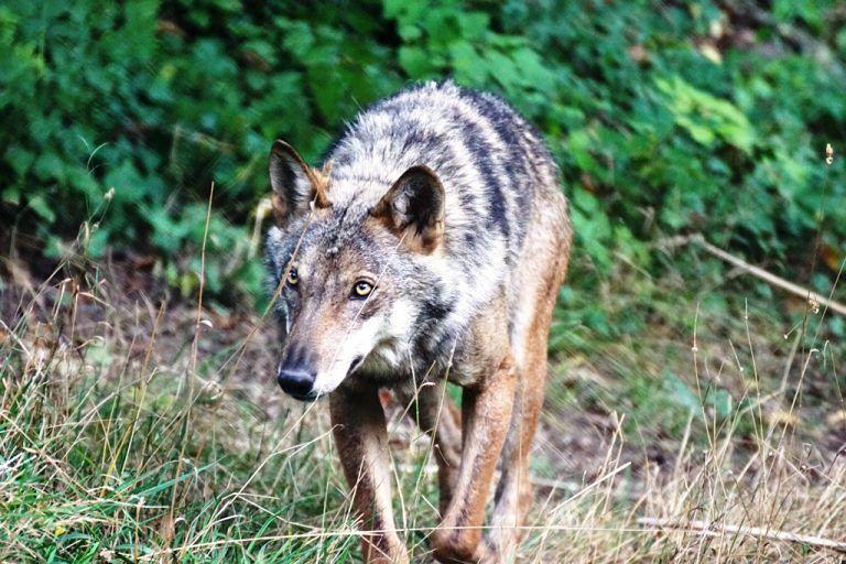 Montesilvano, carcassa di un lupo ritrovata per strada e poi sparita