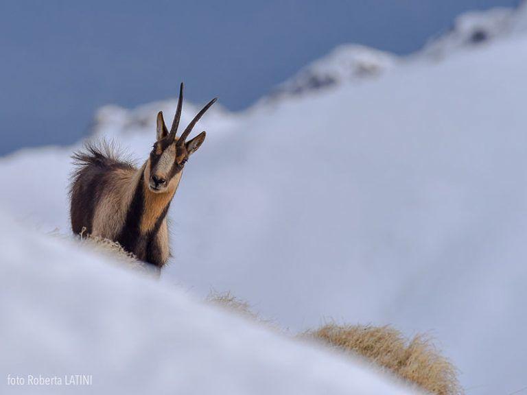Parco Nazionale d'Abruzzo, monitorati 636 camosci