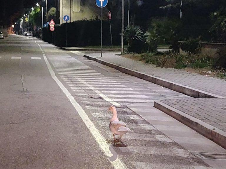 Giulianova, oca a spasso per via Nievo nella notte FOTO