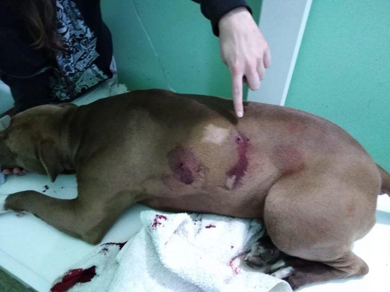 Bellante, pitbull ucciso brutalmente con 4 colpi di forcone: scattano le denunce