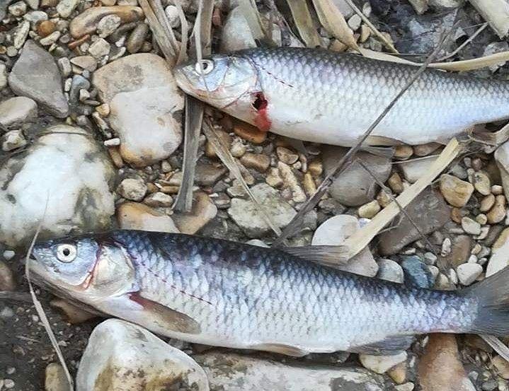 Pesci morti sul Vibrata tra Sant'Omero e Nereto. La segnalazione
