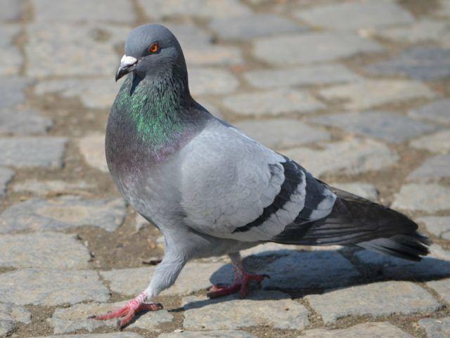 Mosciano invaso dai piccioni (e il loro guano): l'appello di Forza Italia