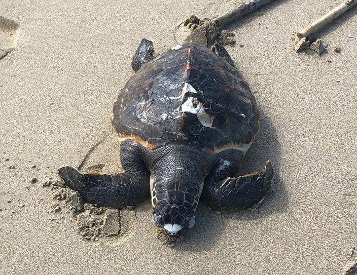 Giulianova, tartaruga morta rinvenuta sulla spiaggia
