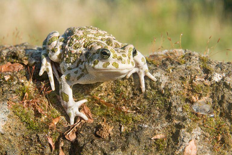Pineto, seminario sul rospo smeraldino: specie protetta che vive nell'AMP Torre di Cerrano