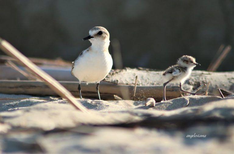 """Fase 2 e prime passeggiate in spiaggia, WWF Abruzzo: """"Attenzione al fratino"""""""
