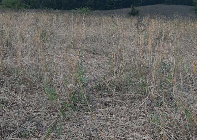 S.Benedetto in Perillis: 6 ettari di grano duro distrutti dai cinghiali in un giorno VIDEO
