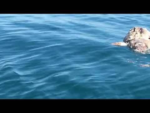 Giulianova, tartaruga morta al largo VIDEO