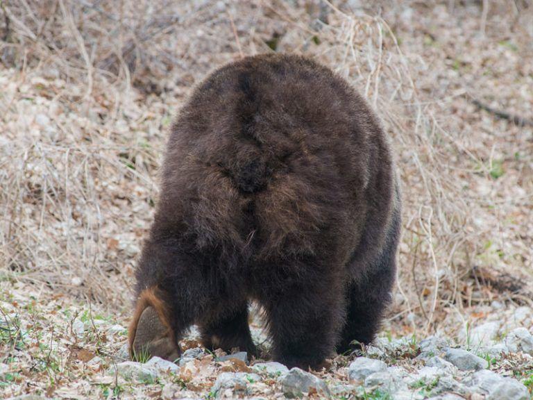 Pescasseroli, addio Yoga: l'orsa più famosa del Parco FOTO