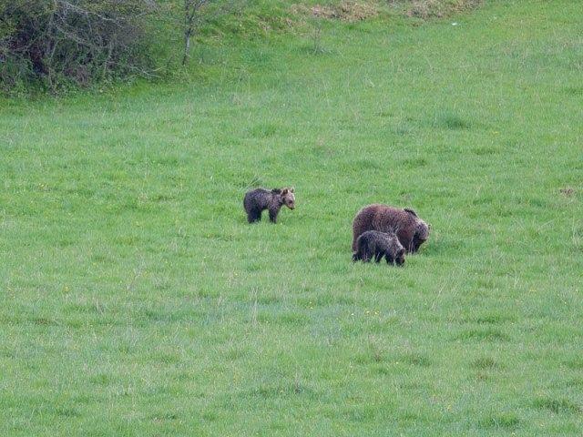 Pescasseroli, osservare gli orsi ma non inseguirli con le auto: i consigli FOTO