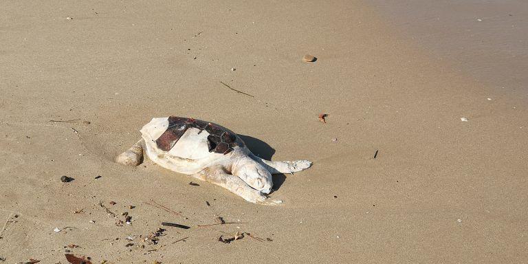 Roseto, rinvenuta nella Riserva Borsacchio la carcassa di una piccola tartaruga Caretta Caretta FOTO