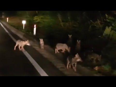 Crognaleto, eccezionale cucciolata di lupi VIDEO