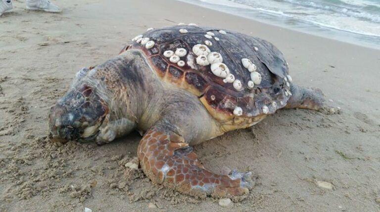 Pineto, carcassa di tartaruga rinvenuta sul bagnasciuga FOTO