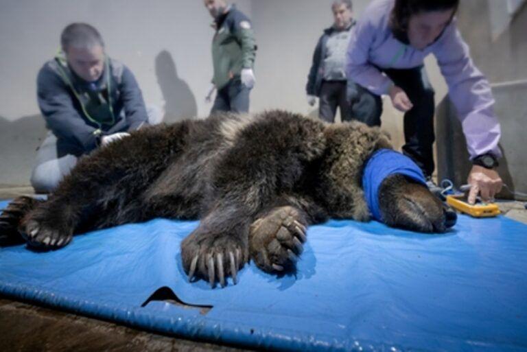 Pescasseroli, tempo di esami per l'orsa Lauretta: la mascotte del Parco