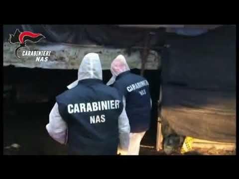 Carne macellata abusivamente: sequestrati animali dal Nas in Abruzzo VIDEO
