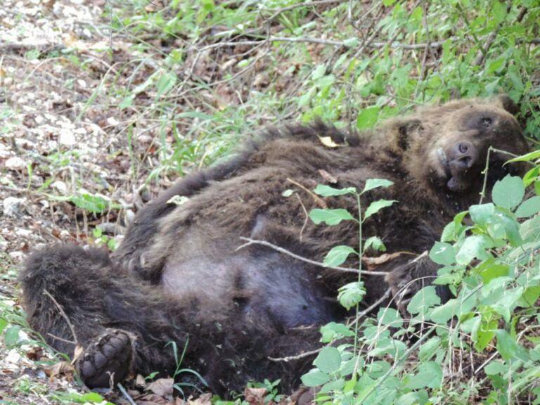 Orso ucciso a Pettorano sul Gizio: iniziato il processo d'Appello