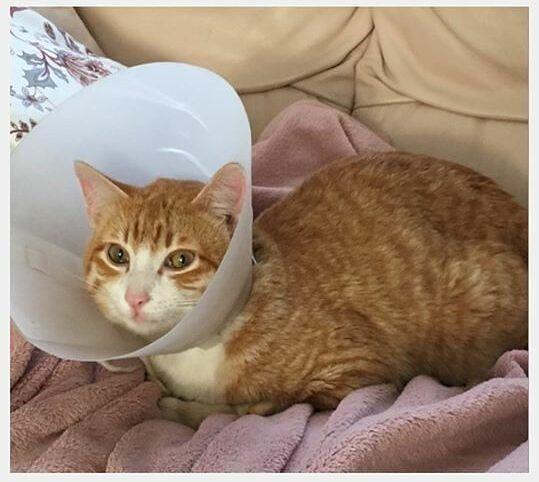 Pineto, gatto domestico brutalizzato da ignoti: diversi ematomi e coda amputata
