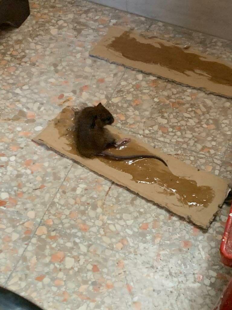 Pescara, topi nelle case Ater di Rancitelli FOTO
