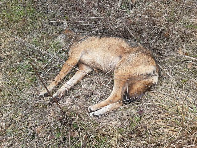 Campli, nelle campagne di Campovalano rinvenuto un lupo morto: forse è stato avvelenato FOTO