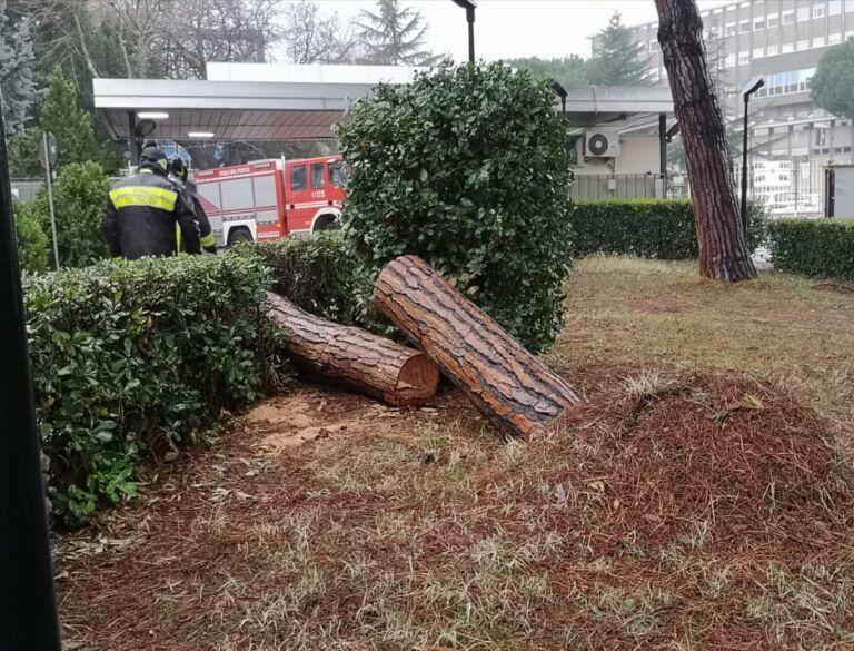 Maltempo, pino cade nei pressi dell'ospedale di Giulianova FOTO