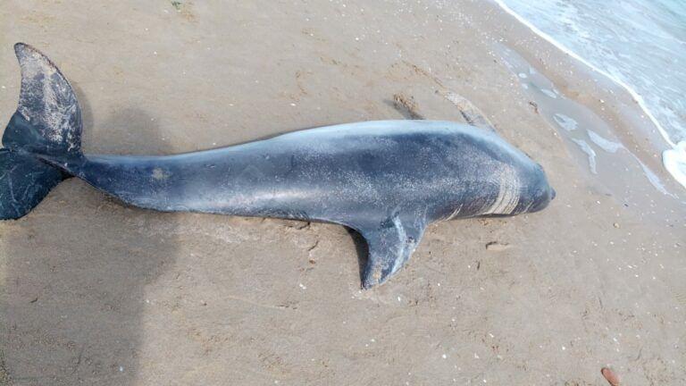 Delfino morto sulla spiaggia di Silvi