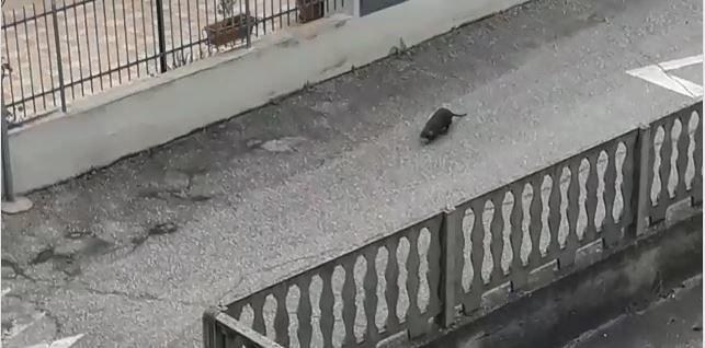 Pineto, nutria a spasso per le vie a ridosso del Calvano VIDEO