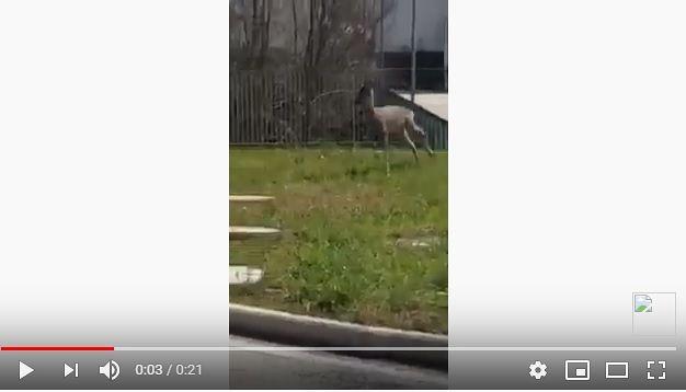Cepagatti, un capriolo saltella davanti al centro commerciale di Villanova-VIDEO