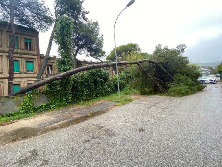 Giulianova, pino dell'ex colonia Rosa Maltoni crolla sulla strada FOTO