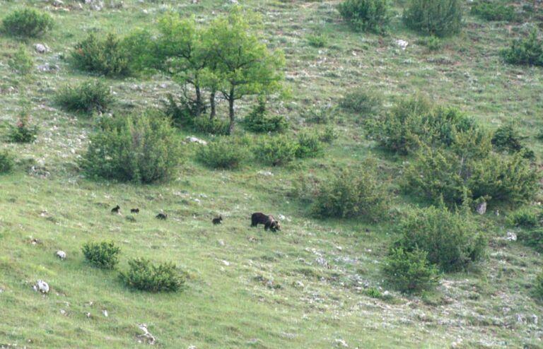 Parco Nazionale d'Abruzzo: mamma orso a spasso con 4 cuccioli