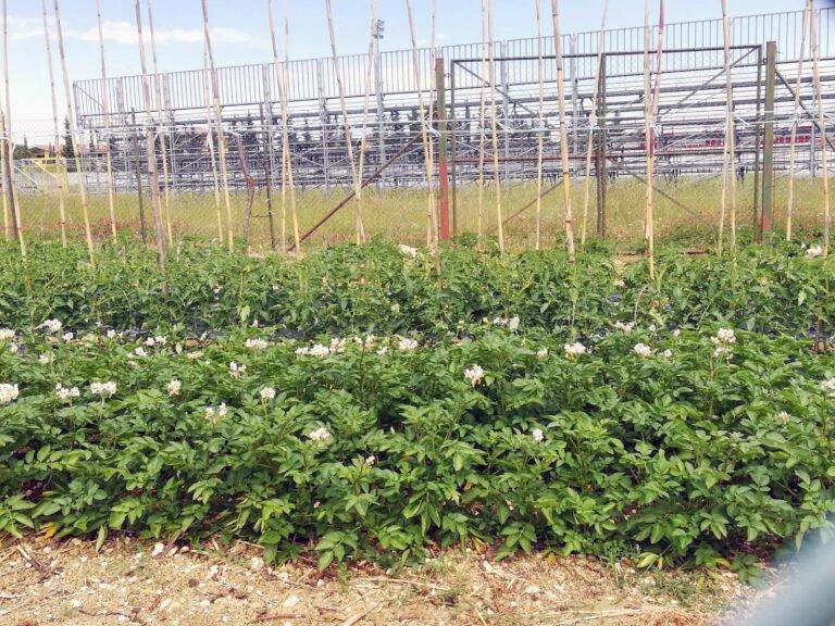 Morro d'Oro, allo stadio comunale si coltivano ortaggi: la segnalazione FOTO