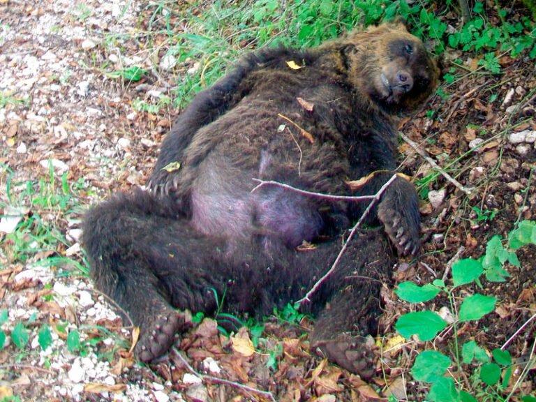Orso ucciso a Pettorano sul Gizio. Il Parco: sentenza storica