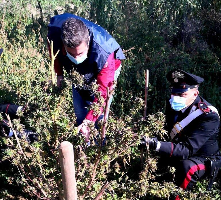 Mosciano, piantagione di cannabis nelle campagne di Ripoli. In manette una donna FOTO