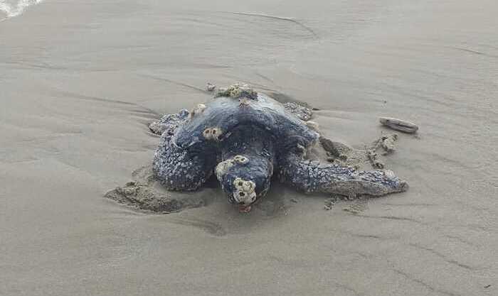 Giulianova, salvata tartaruga spiaggiata dalla mareggiata FOTO