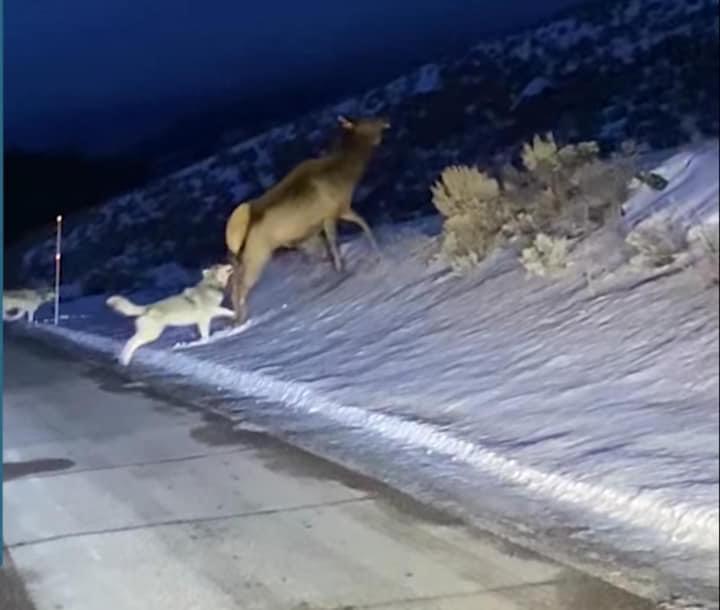 Lupi attaccano un cervo nell'Altopiano delle Cinque miglia VIDEO