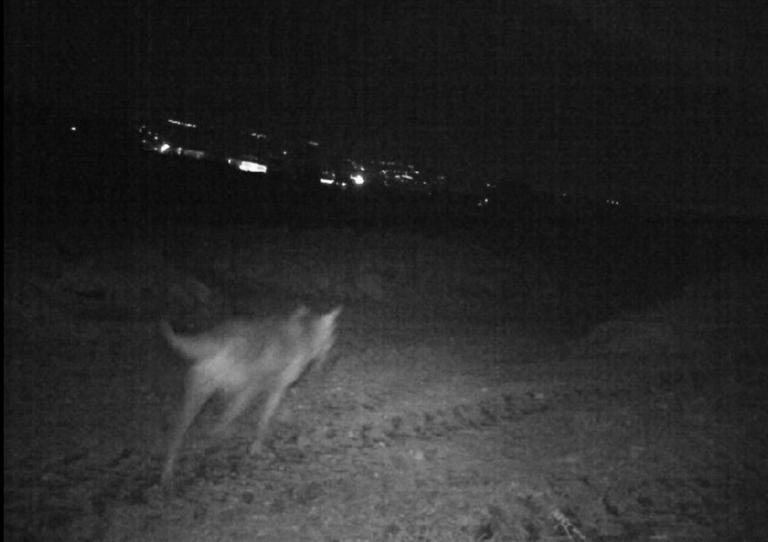 Spoltore: 3 lupi avvistati a Cavaticchi-VIDEO