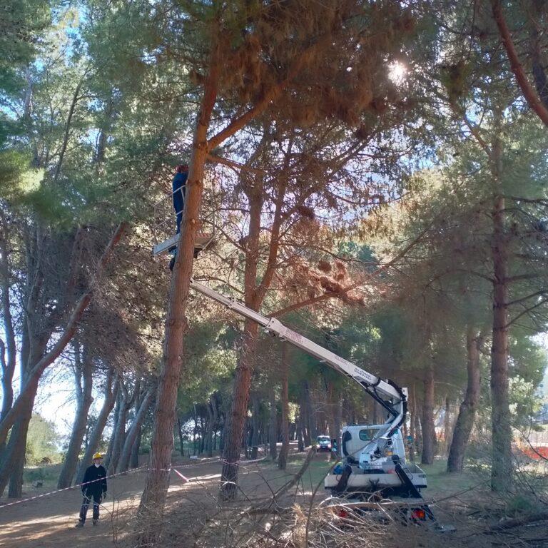 Pineto, pini attaccati dal coleottero Tomicus: al via la potatura