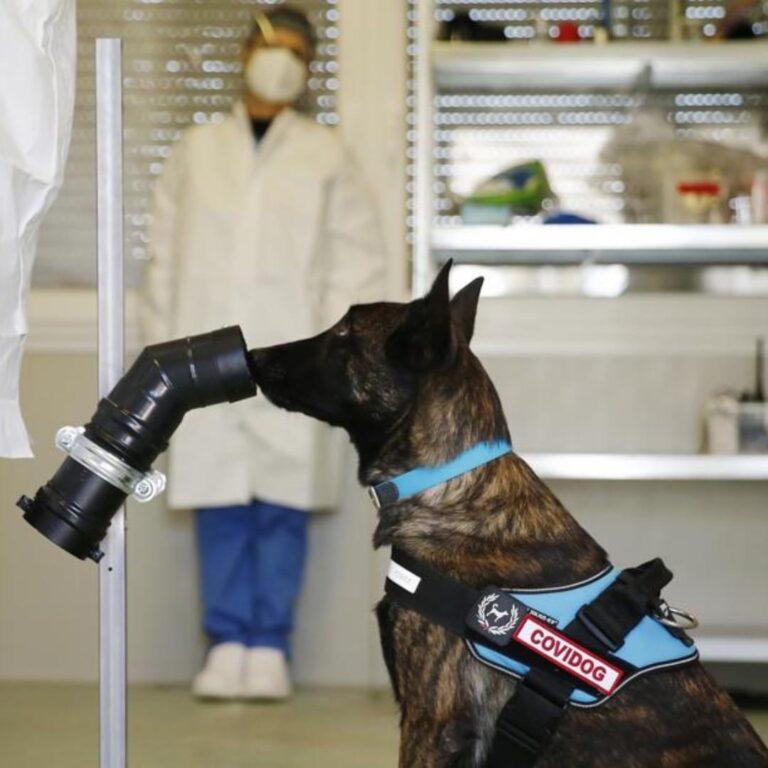 Covid, cani per fiutare il virus in 60 secondi. Il progetto