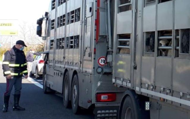 Trasporto animali vivi, intensificati i controlli della Polizia Stradale di Chieti