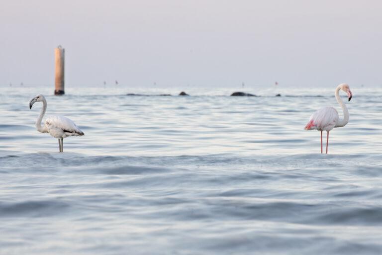 Fenicotteri rosa a Cologna, Cavalieri d'Italia a Pineto e Fratini sul litorale