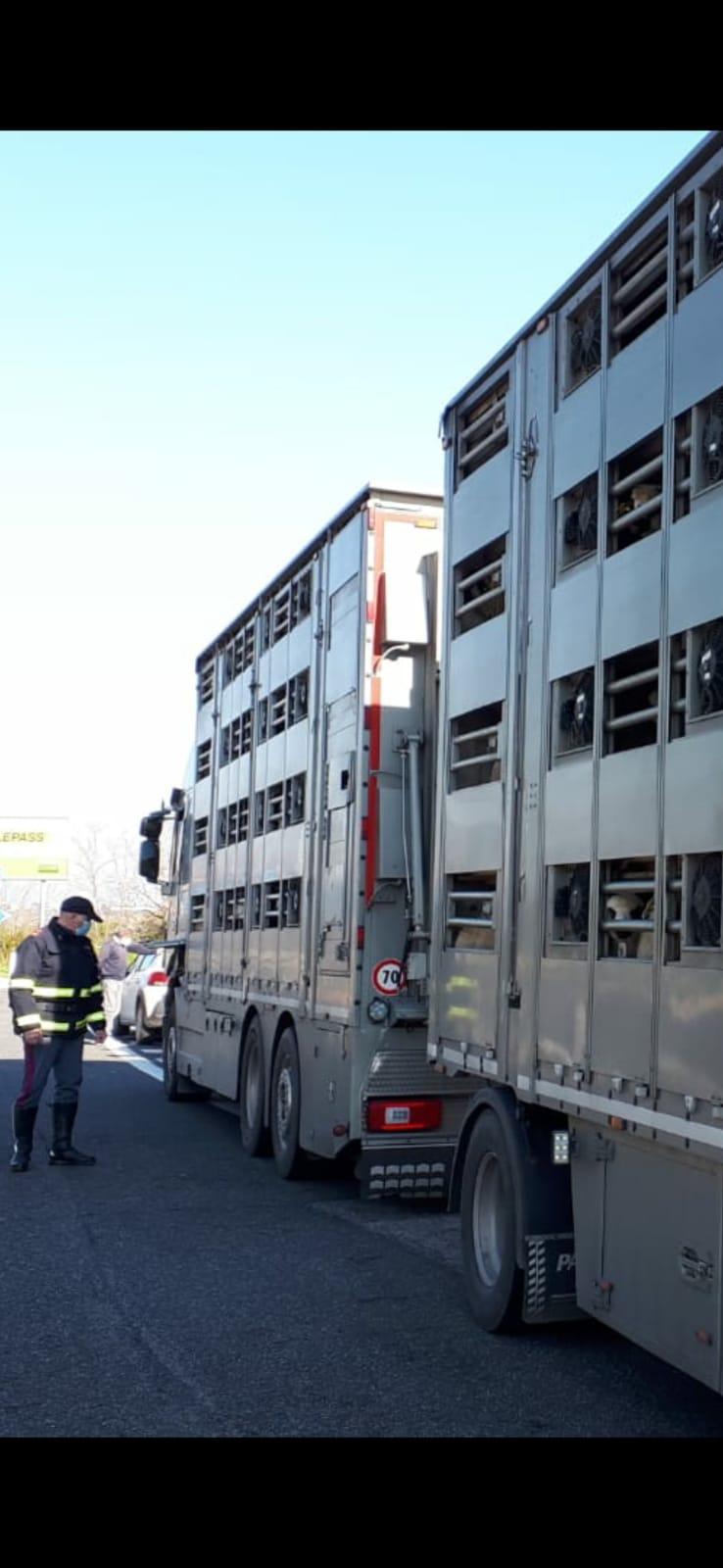 L'Aquila, controlli intensificati sul trasporto di animali vivi
