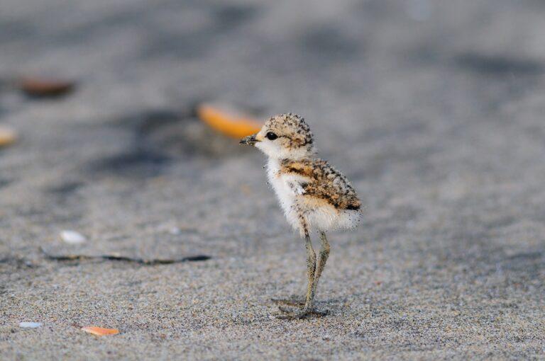 Tutela del Fratino sulla costa abruzzese: incontro on-line sulla pulizia delle spiagge