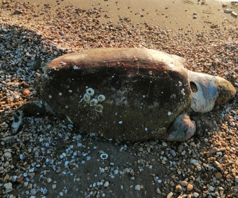 Tortoreto, tartaruga morta trovata sulla spiaggia sud FOTO