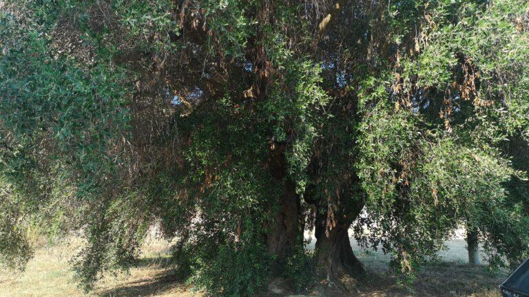 Roseto, alla scoperta dell'ulivo millenario e dell'elmo ostrogoto. Torna l'escursione delle Guide del Borsacchio NOSTRO SERVIZIO