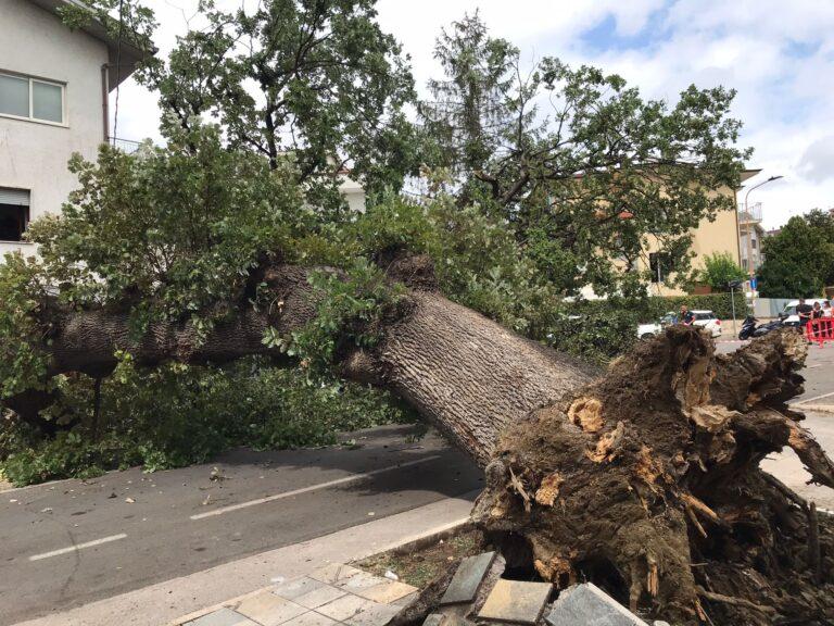Pineto, quercia caduta: in corso le operazioni di rimozione FOTO VIDEO