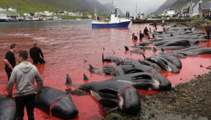 Mattanza alle Isole Faroe: massacrati 1500 delfini