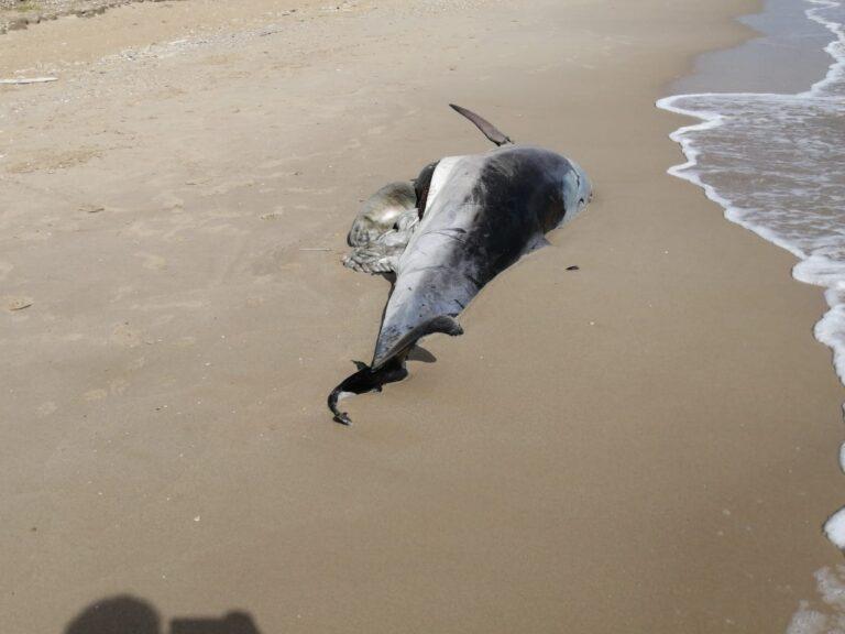 Roseto, delfino morto spiaggiato nella Riserva del Borsacchio