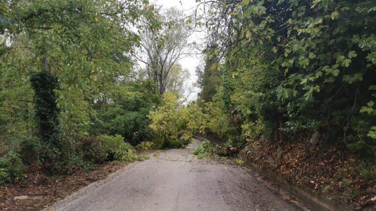 Corropoli, albero caduto per il vento in contrada Ravigliano