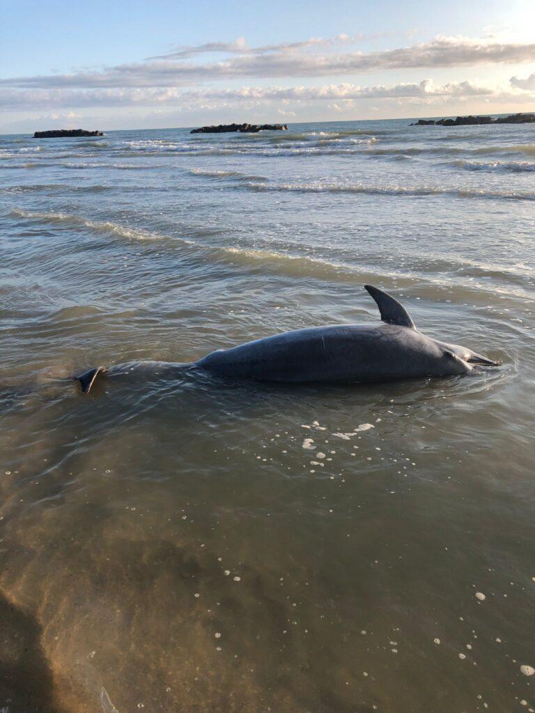 Cologna, delfino trovato morto con un cappio alla pinna caudale NOSTRO SERVIZIO/FOTO